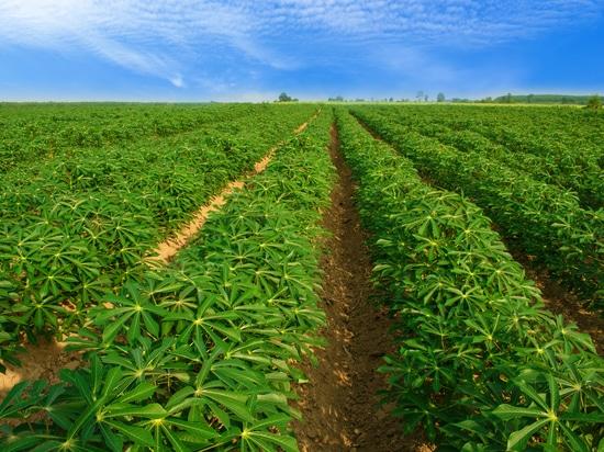 Analisi rapida del contenuto di materia secca e di altre caratteristiche di qualità della manioca utilizzando l'ASD QualitySpec® Trek